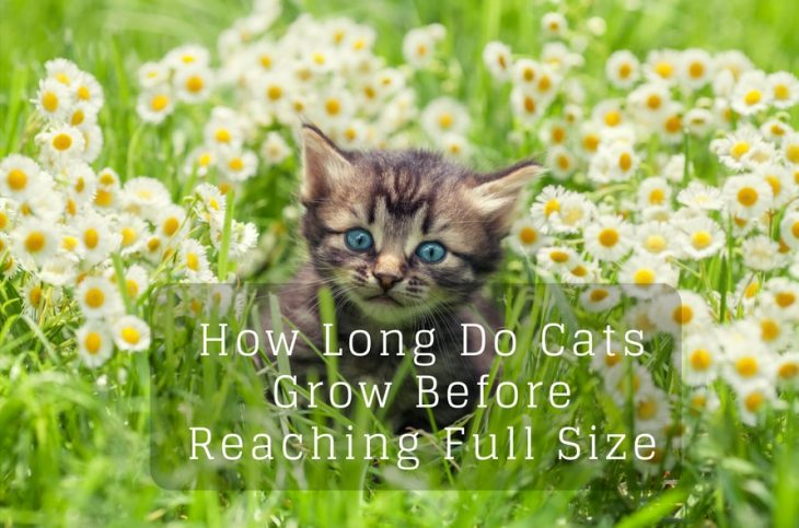How long do cat grow