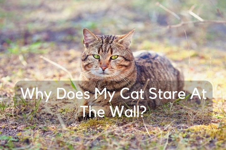 Why Does My Cat Stare At The Wall?