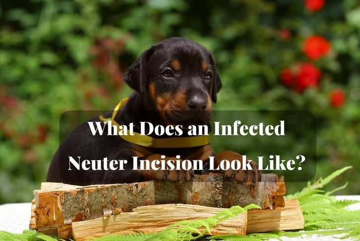 What Does an Infected Neuter Incision Look Like?