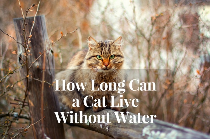 How Long Cat Survive Without Food And Water